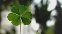 three_leaf_clover